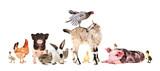 Fototapeta Zwierzęta - Funny group of farm animals isolated on white background