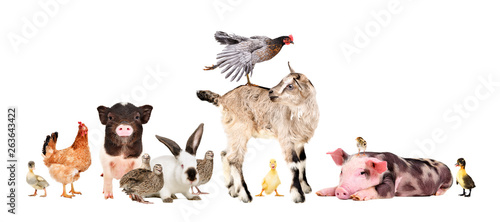 Fotografia Funny group of farm animals isolated on white background