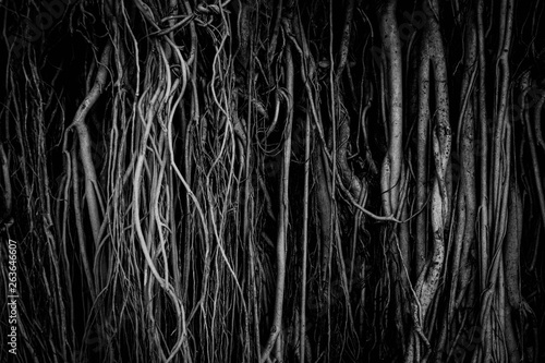 The roots and stems of the banyan tree are densely packed, looking cluttered as the surface of the wood, photographing black and white Canvas Print