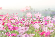 Cosmos Flowers In Nature, Swee...