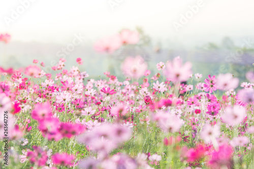 Univers Cosmos flowers in nature, sweet background, blurry flower background, light pink and deep pink cosmos.