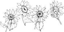 Vector Sunflower Floral Botani...