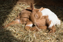 Brow White Baby Goat, Lamb, Laying On Hay In Sun