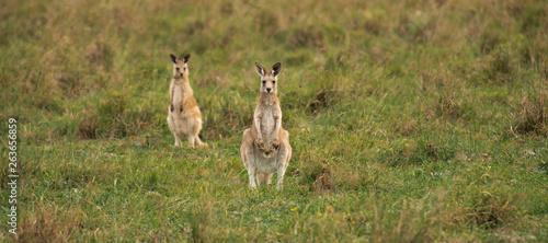 Spoed Fotobehang Kangoeroe Kangaroos in the countryside
