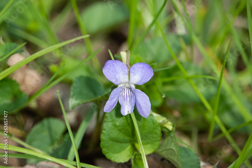 Violet Flower in Bloom in Springtime