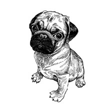 Pug Dog. Cute Puppy. Black And White Hand Drawing.