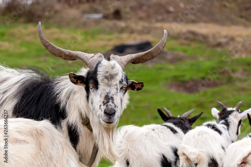 Fototapety, obrazy: View on a goat flock standing on the fields