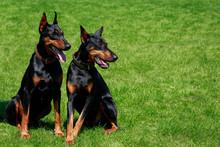 Two Dog Breed Doberman Pinscher