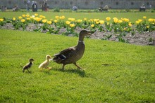 Duck With Ducklings At Tuileri...