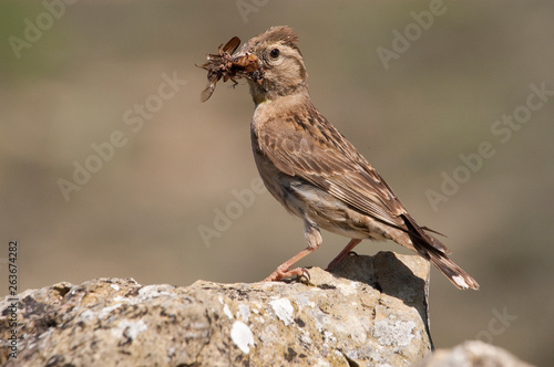 Fotografía  Rock Sparrow - Petronia petronia with insects in its beak