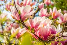 Pink Magnolia Tree Blossom Against Blue Sky