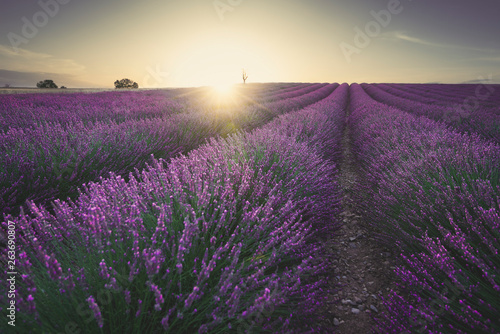 Papiers peints Aubergine Sunset over lavander field - Valensole, France