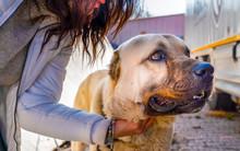 A Turkish Girl Hugs An Anatolian Shepherd Dog (sivas Kangal)