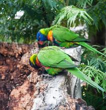Dwie Wielobarwne Papugi