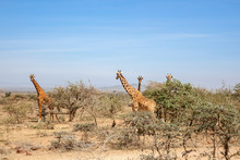 Giraffes Standing And Watching In The Bushes