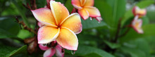 Beautiful Frangipani Perfume F...