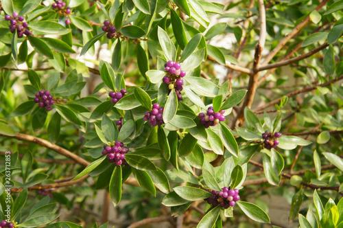 Daphne odora or winter daphne sweet amethyst shrub with purple berries Fototapeta