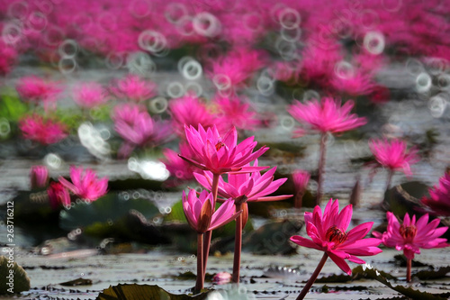 Poster de jardin Nénuphars red lotus flower in the pond