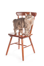 Gray Fluffy Cat On Wooden Chair Isolated On White Background
