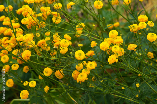 Photo Ranunculus acris flore pleno double meadow buttercup