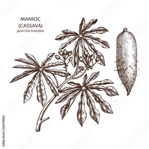 Hand drawn Cassava illustration Canvas Print