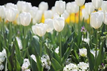 公園に咲く白いチューリップ
