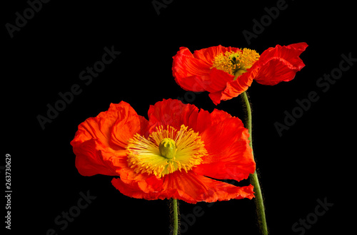 Valokuva  Floral fine art still life color macro of a a pair of red yellow satin/silk popp