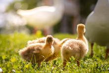 Duck Goose Chicks On The Grass Eating