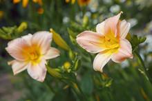 Peach Daylilies On A Green Bac...