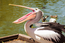 White Pelican Bird In The Park, Adelaide Australia