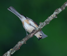 Tufted Titmouse Upside Down