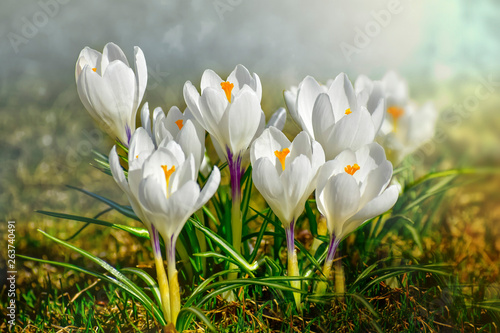 Cadres-photo bureau Crocus Crocus spring flowers