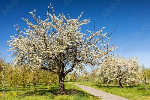 Carta da parati Cherry tree blossom near Ockstadt