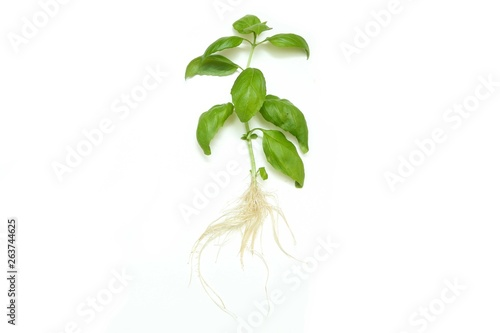 Fotografie, Obraz  The fresh green sprouted basil with roots isolated on white background