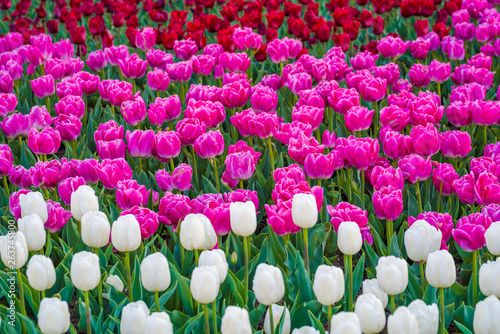 Spoed Fotobehang Roze Tulip garden in a park. Variety of tulip flowers. Mixed colors - red, pink and white flowers