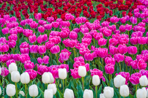 Tulip garden in a park. Variety of tulip flowers. Mixed colors - red, pink and white flowers