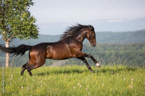 Stallion Tableau sur Toile