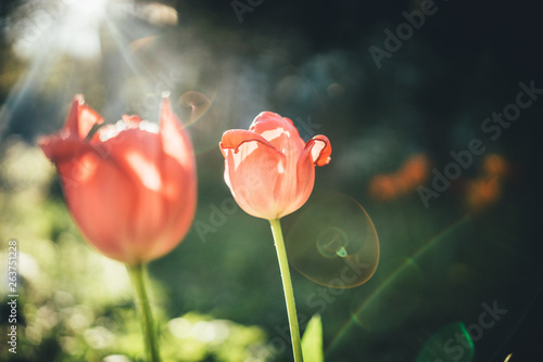 Printed kitchen splashbacks Tulip Tulps in the flower garden with a lot of depth of field at sunshine
