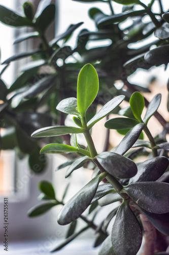 Garden Poster Plant succulent - crassula ovata jade plant, money plant close-up
