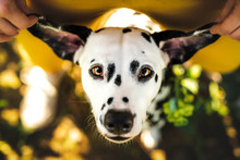 Dalmatian With Funny Ears Look...
