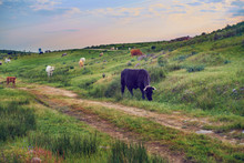 Cows Grazing In A Pasture Meadow In Extremadura In Spring