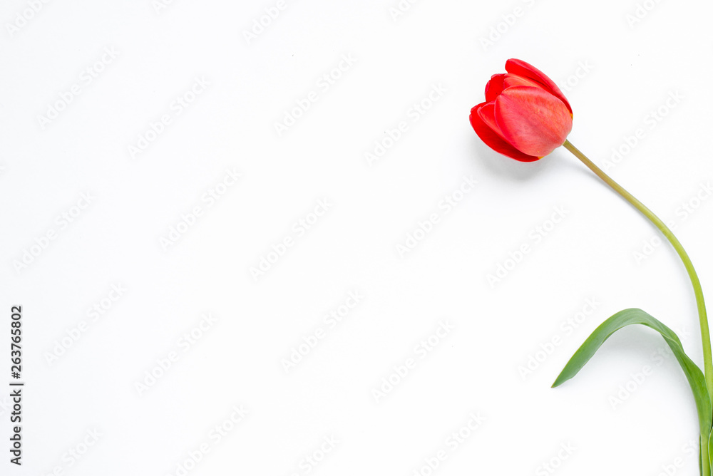 Fototapety, obrazy: Beautiful blossom tulips on a light background. Tulip concept. Flower and spring poster. Floristics, natural scenery and decoration. Botanical and floral card. Empty place for text
