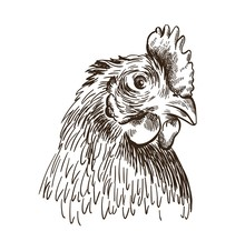 The Head Of A Chicken. Vector Sketch On White