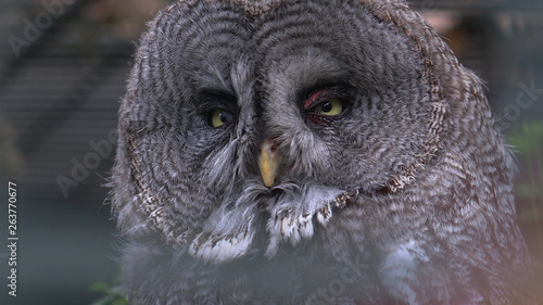 Canvas Prints Hand drawn Sketch of animals The Great Grey Owl closeup portrait