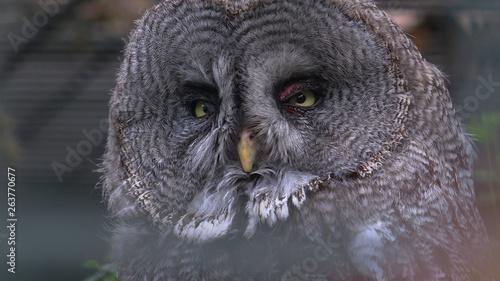 In de dag Uilen cartoon The Great Grey Owl closeup portrait