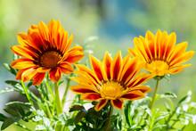 Gazania Flower Or African Dais...