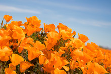 Vibrant Orange California Poppy Flowers Close Up Side Angle