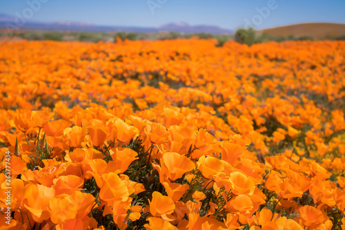 Close up low angle California Poppies in bright orange