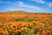 Fields Of Bright Orange Poppies In California Desert