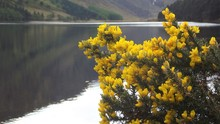 Detail Of A Gorse Bush In Bloo...